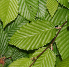 Carpinus betulus (Haagbeuk-bladverliezend)